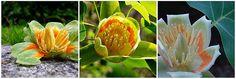 Tulip Tree.   Tumblr