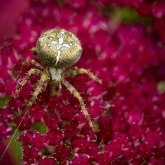 Trevor King - Garden spider