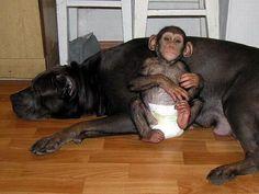 notizie commoventi, cani, scimmie, mastini, scimpanzé, cane adotta scimmia