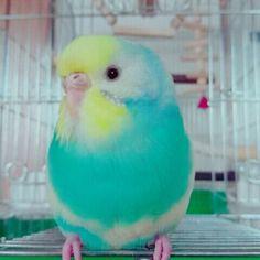 Pretty colour little Budgie.