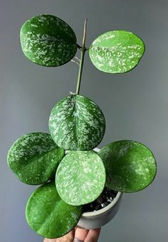 Planting Succulents, Planting Flowers, Hoya Obovata, Belle Plante, Cactus, Foliage Plants, Rare Plants, Types Of Plants, Outdoor Plants