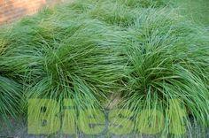 #groen #siergrassen Pennisetum hameln