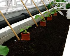 West Dean College - Young cucumber with protective terracotta collars in Victorian Glasshouses