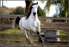 Hispano-Arabe's are a crossbreed between Arabian and Andalusian horses.