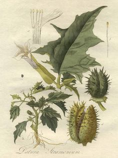 datura stromonium.... More likely, though, is after ingesting this plant, you would sincerely wish you were dead. The biggest problem with members of the nightshade family is the unpredictability of their effect. There is no way to quantify this plant.