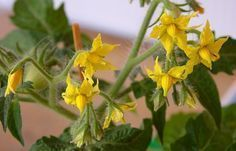 Tomatoes fall flowers, what to do? Tomatoes fall flowers, what to do? Epsom Salt, Fall Flowers, Natural Healing, Indoor Plants, Gardening Tips, Outdoor Gardens, Backyard, Veggies, Tomatoes