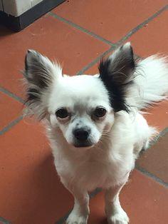 Diesel  Chihuahua | Pawshake