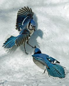 blue jays-beautiful shot against the white snow