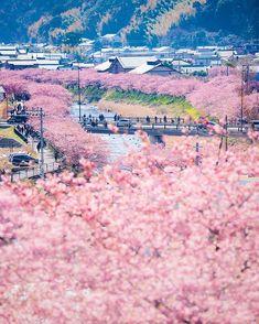 Kawazu Cherry Blossom Festival, Shizuoka, Kawazuzakura, Japan, Sakura, 河津桜まつり, 静岡, 日本