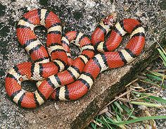 A red milk snake.  You definitely don't want to see this snake in your woodpile or yard.