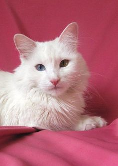 Pictures of Turkish Angora Cat Breed Turkish Van Cats, Turkish Angora Cat, Angora Cats, Pretty Cats, Beautiful Cats, Flea Shampoo For Cats, Toxic Plants For Cats, Teacup Cats, Herding Cats