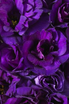 Purple Lisianthus is a gorgeous flower and comes in lavender and deep purple, we can use these in the bouquets as well Purple Haze, Bright Purple, Shades Of Purple Color, Magenta, Calyx Flowers, Lisianthus Flowers, Art Violet, Color Lila, All Things Purple