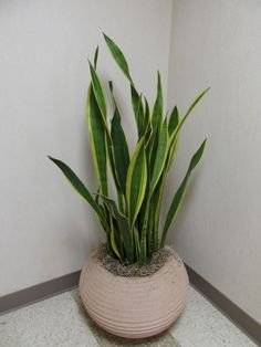 How to Correctly Pot Indoor Plants| How to Pot Indoor Plants, Potting Indoor Plants, Indoor Gardening, Potting Tips and tricks, Indoor Gardening Hacks, How to Pot Indoor Plants, Popular Pin