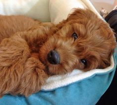 via the daily puppy Puppy Breed: Golden Retriever / Poodle Java loves to play with people and other dogs. He likes to play fetch with his toys, especially his owl, and chew on anything he can find. He has a lot of fun when he gets to go to work and frolic there as the team puppy.