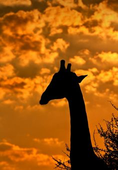 first light giraffe by keith connelly