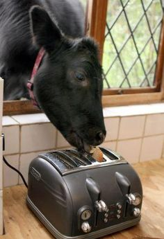 PetsLady's Pick: Funny Cow Toast Of The Day...see more at PetsLady.com -The FUN site for Animal Lovers