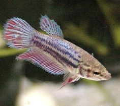 female betta fish - do not put in tank with males~ these little fish have so much personality!