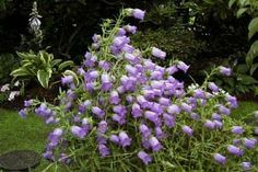 Blue Canterbury Bells (1) From: Discarded Lies, please visit