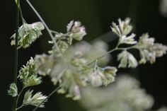 Grass close up - loving the huge seed heads!