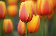 https://www.goodfon.com/wallpaper/li-feng-orange-tulips-flowers.html