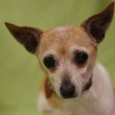 Lillith is an adoptable Chihuahua Dog in Toledo, OH. All Planned Pethood dogs and puppies are altered (spayed/neutered) and fully vetted prior to adoption.