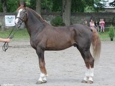 Tori horse, old type. Tunnustatud tori täkk Hilbek. Foto: Ago Ruus. Img: hobumaailm.ee
