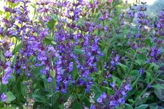 Salvia officinalis is a popular culinary shrub that bears clusters of blue, tubular flowers in summer. The foliage has a grey/green appearance and the surfaces of the leaves are softly wooly. The leaves are also quite aromatic and they're often used