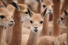 Vicuña, a camelid that looks like a smaller and more elegant llama, found primarily in the Peruvian and northern Argentine Andes. Chinchilla, Animals And Pets, Cute Animals, New World Monkey, Bactrian Camel, Hairless Dog, Musk Ox, Backpacking Asia, Fauna