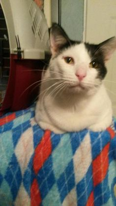 Stanley is an adoptable Domestic Short Hair searching for a forever family near Fenton, MO. Use Petfinder to find adoptable pets in your area.