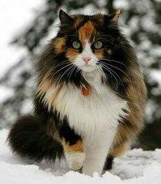 Very beautiful calico cat Pretty Cats, Beautiful Cats, Animals Beautiful, Cute Animals, Kittens And Puppies, Cats And Kittens, I Love Cats, Cool Cats, Norwegian Forest Cat