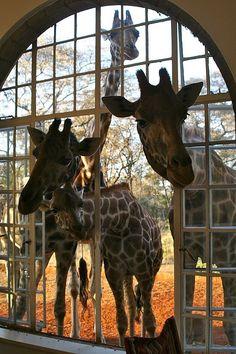 Breakfast time at Giraffe Manor, Nairobi--what a fun place!