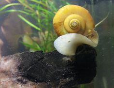 Gold Mystery Snail.  Make sure the pH is around 8, or its shell will develop pitting from slowly dissolving.
