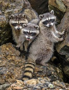 Adorable racoons...