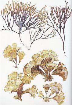 Mathurin Méheut Algues / Algae (Furcellaria Lumbricalis haut / top, Padina Pavonia bas / bottom) Aquarelle / Watercolor 1910-1912
