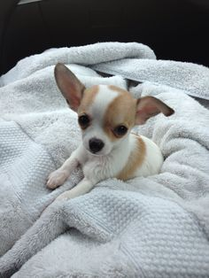 Bentley the #chihuahua
