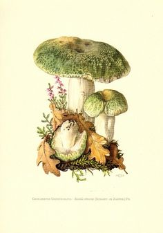 greencracked brittlegill mushroom, rullula virescens, original vintage lithograph, 1963