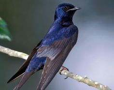 Backyard Habitat: Backyard Birds: Purple Martins