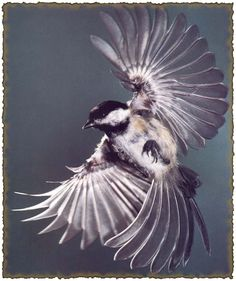 parus major, this dude looks like he's built to fly like a fighter plane