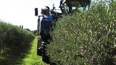 """Raccolta delle olive con la """"vendemmiatrice"""" in un impianto super intensivo #olionuovo"""
