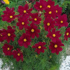 Cosmos Seeds - SONATA CARMINE - Great Cut Flowers - Cosmos Bipinnatus - 25 Seeds | eBay