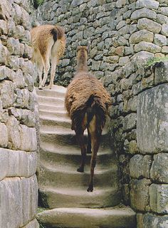 Alpaca's walking on stairs Machu picchu Peru