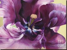 Purple tulip close-up Stretched Canvas Print by Luca Villa at Art.com