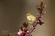 Willow warbler by Zbikuj via http://ift.tt/1m4TEhE