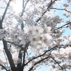 The significance of the cherry blossom tree in Japanese culture goes back hundreds of years. The cherry blossom represents the beauty of life and its delicate moments. It's a reminder that life is overwhelmingly beautiful and to enjoy every moment of it!  .  .  .  #fernberryskincare #fernberry #skincare #health #beauty #natural #naturalbeauty #youthful #antioxidant #skin #health #bbloggers #moisturise #beautytip #beautyinspo #wellness #flowers #relax #pamper #japanesebeauty #cherryblossom