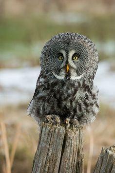 ~~Great Gray Owl by Raymond J Barlow~~