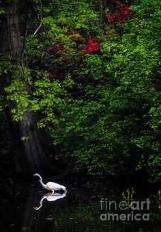 Great Egret in Central Park II - photograph by James Aiken  #jamesaiken #egret #centralpark  via @jamesaiken09
