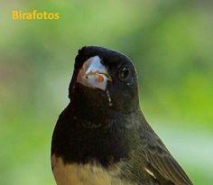 Aves do Brasil: Coleiro-baiano