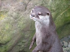Good-Natured Otter Goes About His Day - April 27, 2011