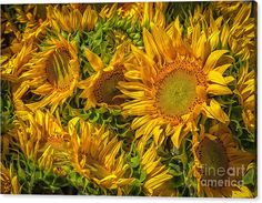 """#Sunflowers Canvas Print featuring the photograph """"Sun Worshippers"""" by Gene Healy. #yellow"""