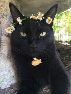 Loki the black cat, wearing a daisy chain tiara.